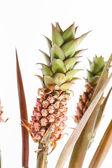 Pineapple plants — Stock Photo