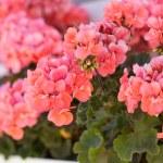 Garden geranium flowers — Stock Photo