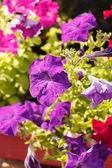 Petunia in de pot — Stockfoto