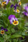 Sweet violet — Stock Photo