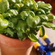 Basil in the pot — Stock Photo #28788365