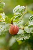 Krusbär i trädgården — Stockfoto