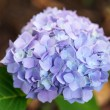 Blue hydrangea — Stock Photo #28797005