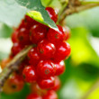 Red currant in the garden — Stock Photo