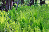 Green Fern in the Forest — Stock Photo