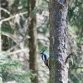 木のキツツキ — ストック写真