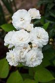 庭の白いバラ — ストック写真