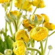 Yellow Ranunculus — Stock Photo #28813109