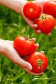 Pomodori nelle mani — Foto Stock