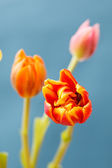 Beautiful tulips — Stock fotografie