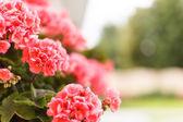 Růžový pelargónie — Stock fotografie