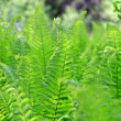Green Fern in the Forest — Stock Photo #28821405