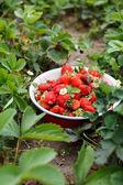 Jordgubbar i trädgården — Stockfoto