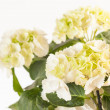 Beautiful hydrangea — Stock Photo #29284903