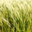 Green wheat on a field — Stock fotografie
