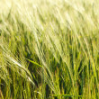 Stockfoto: Green wheat on a field