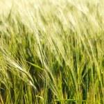 bir alan üzerinde yeşil buğday — Stok fotoğraf