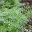 Fresh dill — Stock Photo #29858093