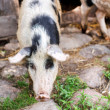 Pigs — Stock Photo #30541149