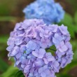 Blue hydrangea — Stock Photo #30547313