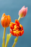 Hermosos tulipanes — Foto de Stock