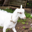Pet goats — Stock Photo