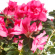 Azalea — Stock Photo #30789731