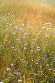 Field of cornflowers — Stockfoto