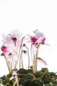 Pink cyclamen in a flower pot — Stock Photo