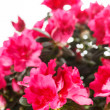 Azalea — Stock Photo #31905833