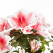 Azalea — Stock Photo