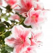 Azalea — Stock Photo #31905943