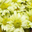 Chrysanthemum — Stock Photo #31905955