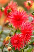 Colorful dahlia flower — Stock Photo