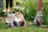 Pussycat outdoor — Stock Photo
