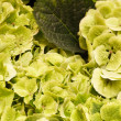 Green hydrangea — Stock Photo #32096919