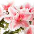 Azalea — Stock Photo #32097169