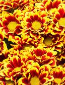 Chrysanthemum bakgrund — Stockfoto