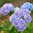 Blue hydrangea — Stock Photo #32333049