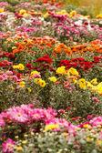 Chrysanthemum flowers in the garden — Stock Photo