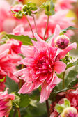 Colorful dahlia flower — Stock Photo