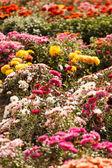 Kwiaty chryzantemy w ogrodzie — Zdjęcie stockowe