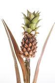 Rostliny ananasu — Stock fotografie