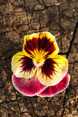 Colorful pansies — Stock Photo