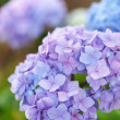 Blue hydrangea — Stock Photo #34024393