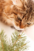 Nice cat with spruce — Stock Photo