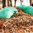 Bags of oak tree leaves in autumn — Stock Photo