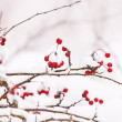 Hawthorn berries under snow — Stock Photo