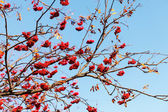 Ashberry tree — Stock Photo