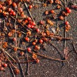 Stock Photo: Ashberry tree